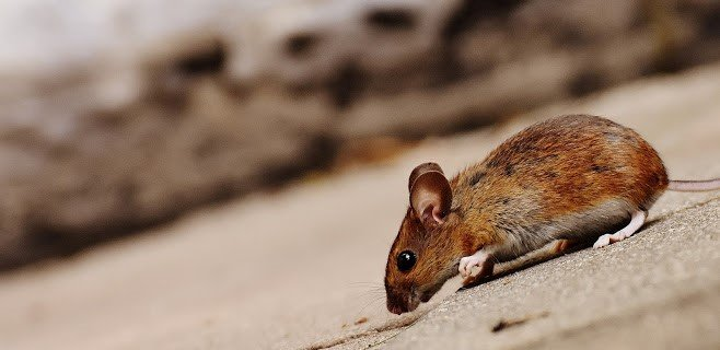 rodent removal service des moines