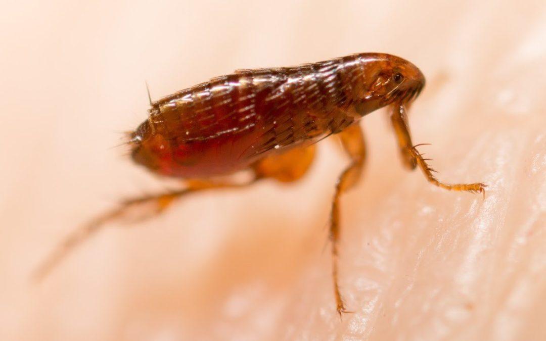 flea removal service des moines